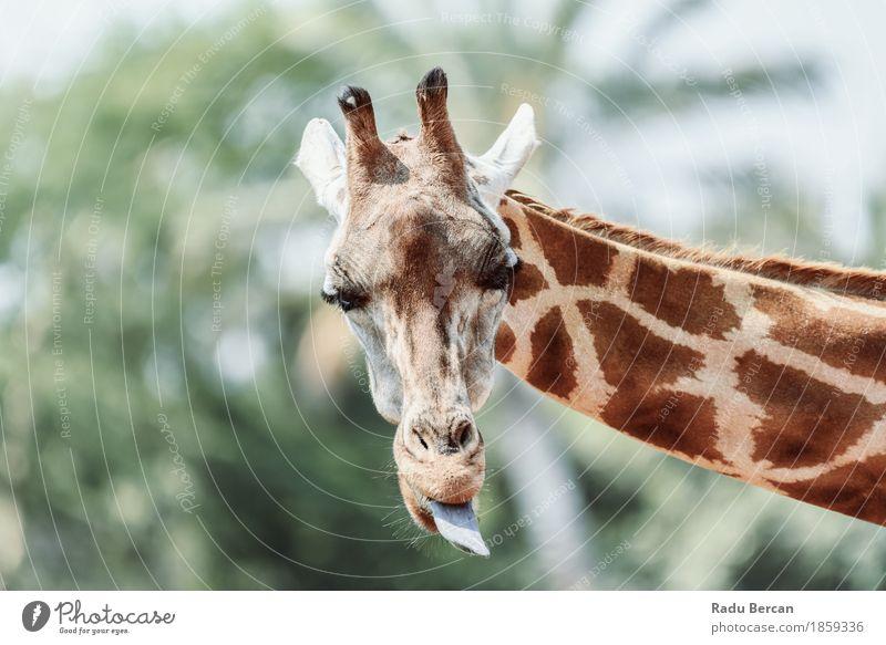 Nordgiraffe (Giraffa Camelopardalis) Porträt Natur Farbe Sommer grün weiß Tier Umwelt lustig Glück braun orange wild Wildtier Fröhlichkeit niedlich