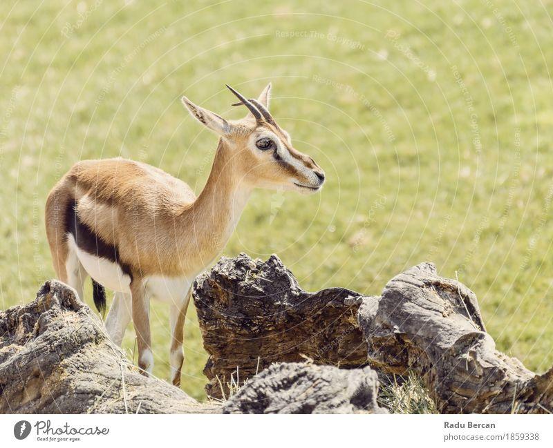 Afrikanische Thomson Gazelle (Eudorcas Thomsonii) Safari Umwelt Natur Tier Gras Wildtier Tiergesicht 1 Tierjunges niedlich wild braun grün Gazellen Kenia