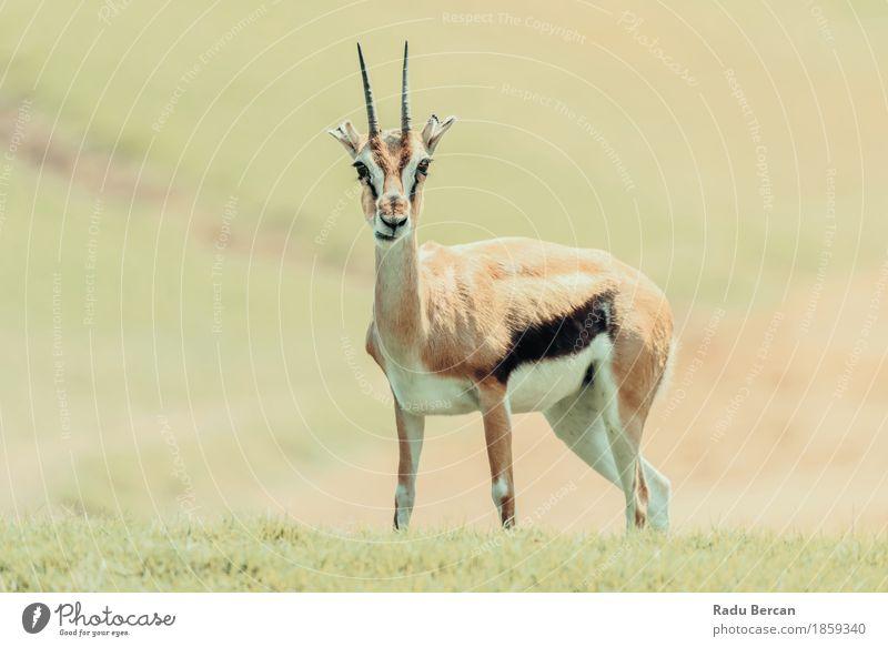 Afrikanische Thomson Gazelle (Eudorcas Thomsonii) Natur Landschaft Tier Gras Wildtier Tiergesicht 1 Tierjunges niedlich wild braun grün orange Gazellen Tierwelt