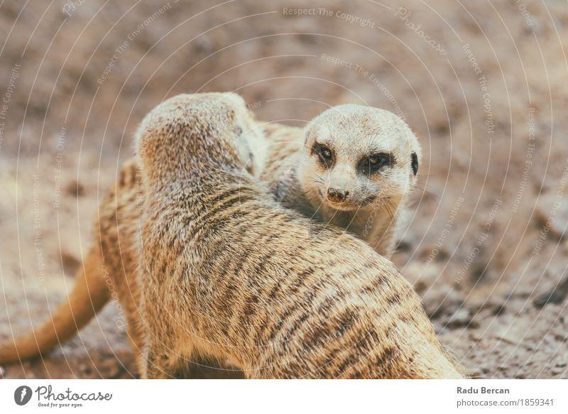 Erdmännchen oder Suricate (Suricata Suricatta) in Afrika Natur Tier Erde Wildtier Tiergesicht 2 Tierpaar Spielen Freundlichkeit klein lustig nah natürlich