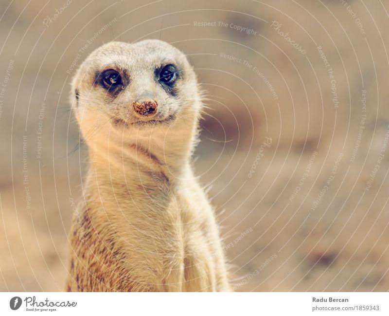 Erdmännchen oder Suricate (Suricata Suricatta) in Afrika Natur Tier lustig natürlich braun wild Wildtier stehen beobachten niedlich Freundlichkeit Tiergesicht
