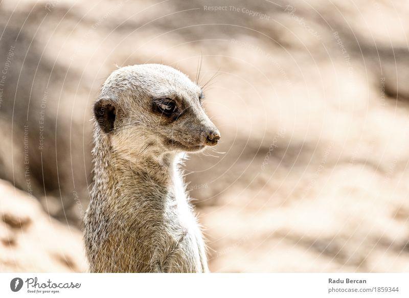 Erdmännchen oder Suricate (Suricata Suricatta) in Afrika Natur Tier Wildtier Tiergesicht 1 beobachten stehen Freundlichkeit niedlich wild braun Neugier Tierwelt