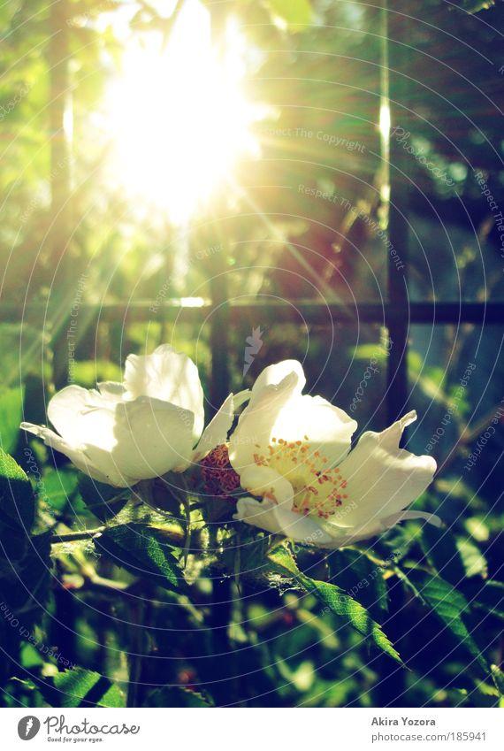 Shine, shine [Happy B-Day Photocase] Natur alt weiß grün schön Pflanze Sonne Sommer Blume gelb Wärme Frühling träumen glänzend ästhetisch leuchten