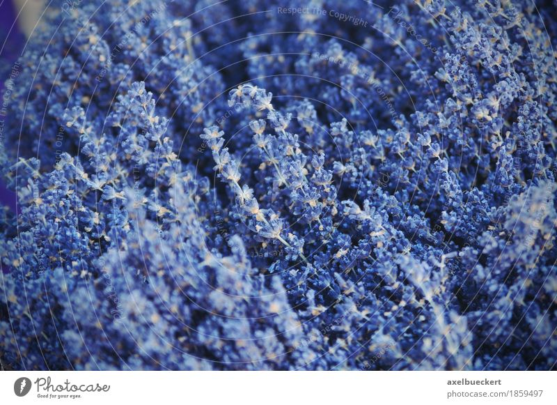 Lavendel Natur Pflanze Blume Sträucher Nutzpflanze blau violett Blüte getrocknet Zierpflanze Kräuter & Gewürze Farbfoto Außenaufnahme Nahaufnahme Menschenleer
