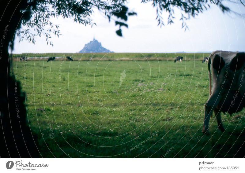 Burg Natur Sommer Ferien & Urlaub & Reisen Tier Ferne kalt Erholung Wiese Landschaft Stimmung Ausflug Tourismus Burg oder Schloss Kuh Fernweh
