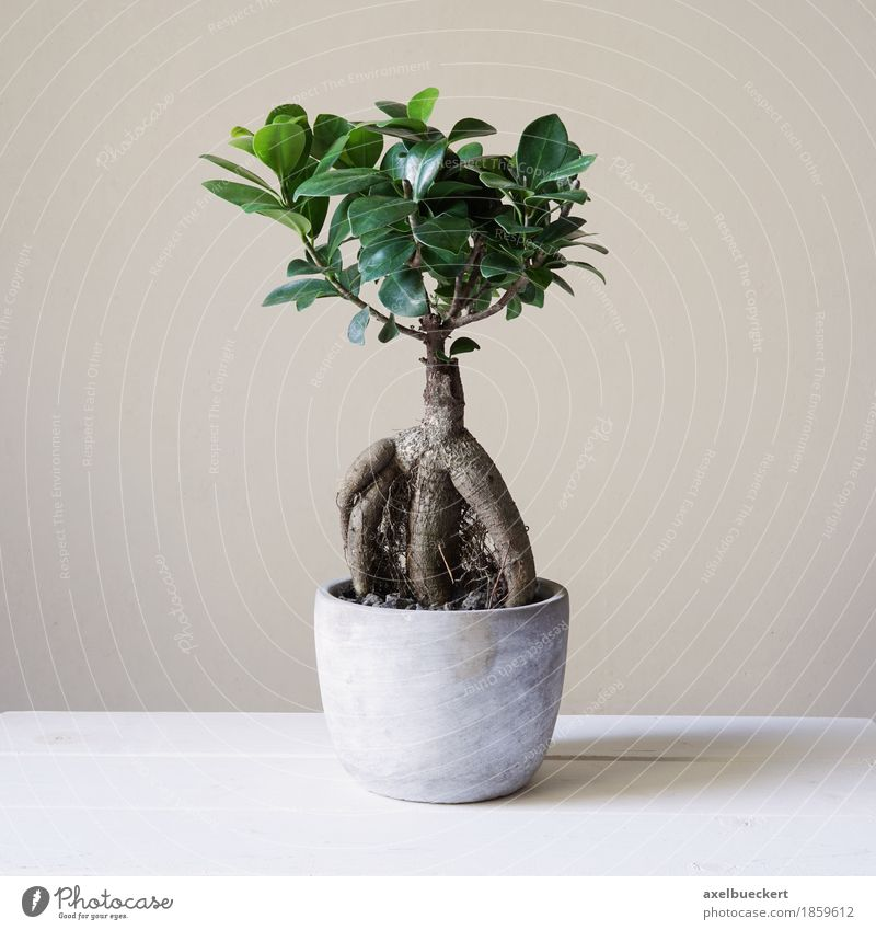 ficus ginseng bonsai ein lizenzfreies stock foto von. Black Bedroom Furniture Sets. Home Design Ideas
