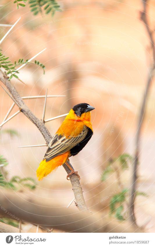 Northern Red Bishop Weaver Natur Farbe grün Blatt Tier schwarz Wärme Umwelt klein braun Vogel orange Wildtier Sträucher Flügel Ast
