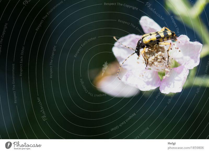 flotter Käfer ... Natur Pflanze blau grün schön weiß Einsamkeit Tier Wald schwarz Umwelt gelb Leben Blüte Frühling natürlich