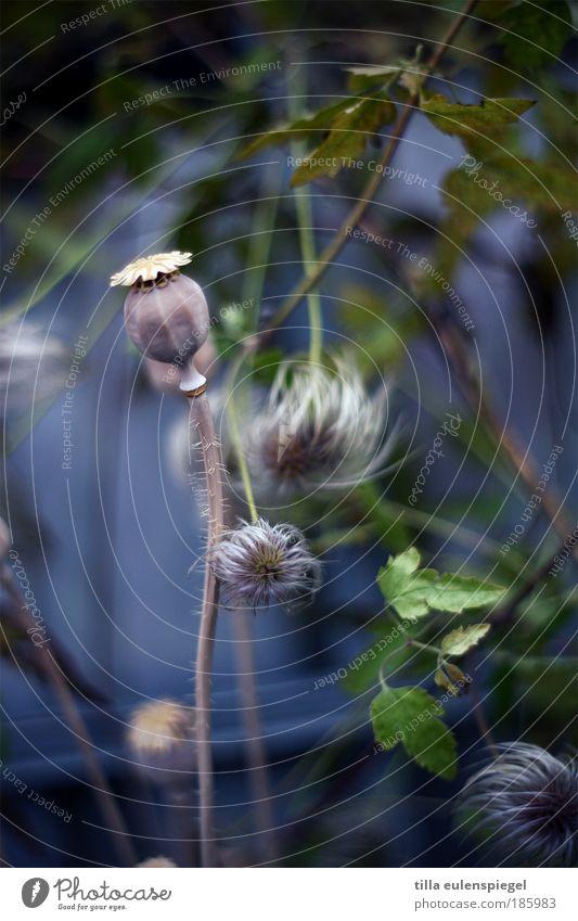 HAPPY BIRTHDAY PHOTOCASE! Natur blau Pflanze Garten natürlich Mohn pflanzlich Grünpflanze Mohnkapsel