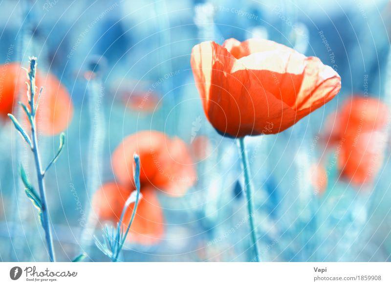 Feld der Mohnblumen - rote Blumen auf dem Gras Natur Pflanze blau Farbe Sommer weiß Landschaft Blatt Blüte Wiese natürlich Kunst Garten