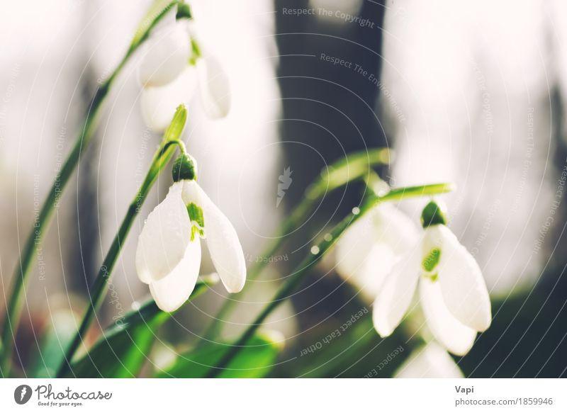 Frühlings Schneeglöckchen Blumen Natur Pflanze Farbe grün weiß Landschaft Blatt Winter Wald schwarz Umwelt Leben Blüte Wiese natürlich