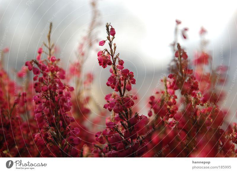 klingeling2 Natur schön Pflanze rot Herbst Blüte rosa ästhetisch Duft Licht