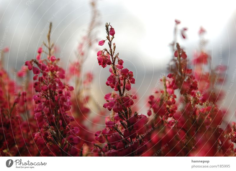 klingeling2 Pflanze Herbst Blüte ästhetisch Duft schön rosa rot Natur Farbfoto Nahaufnahme Tag