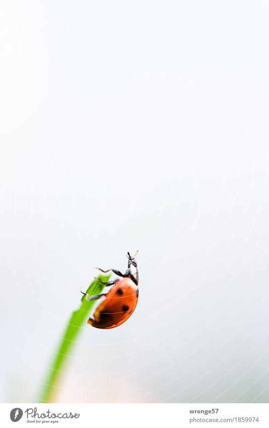 Oben angekommen grün weiß rot Tier schwarz klein grau oben Wildtier Klettern Insekt Halm Käfer krabbeln Marienkäfer Nutztier