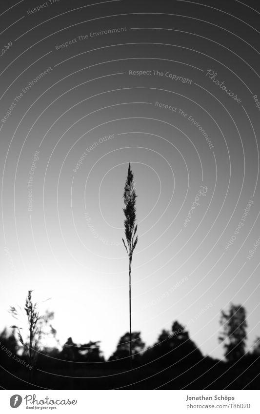 Einzelkämpfer Umwelt Natur Landschaft Himmel Wolkenloser Himmel ästhetisch Getreide Halm einzeln Mitte zentral oben richtungweisend Spitze lang dünn schmal