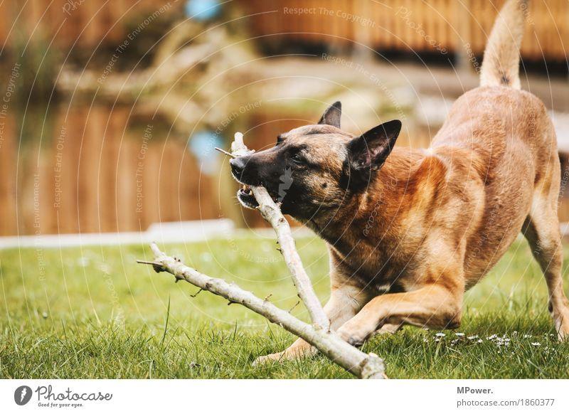 player Wasser Tier Haustier Hund 1 Spielen Aggression sportlich Schäferhund Ast Wiese Fell Freundschaft Farbfoto Außenaufnahme Tag Schwache Tiefenschärfe