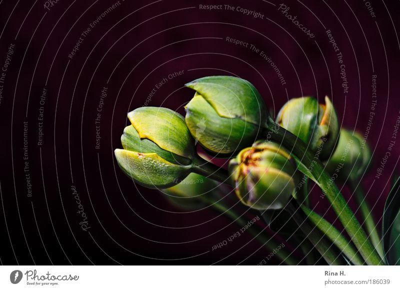 Frischlinge Blume grün Pflanze schwarz Stil elegant ästhetisch Lebensfreude Reichtum Blüte Textfreiraum Tulpe Geborgenheit Blütenknospen Knollengewächse Vorfreude