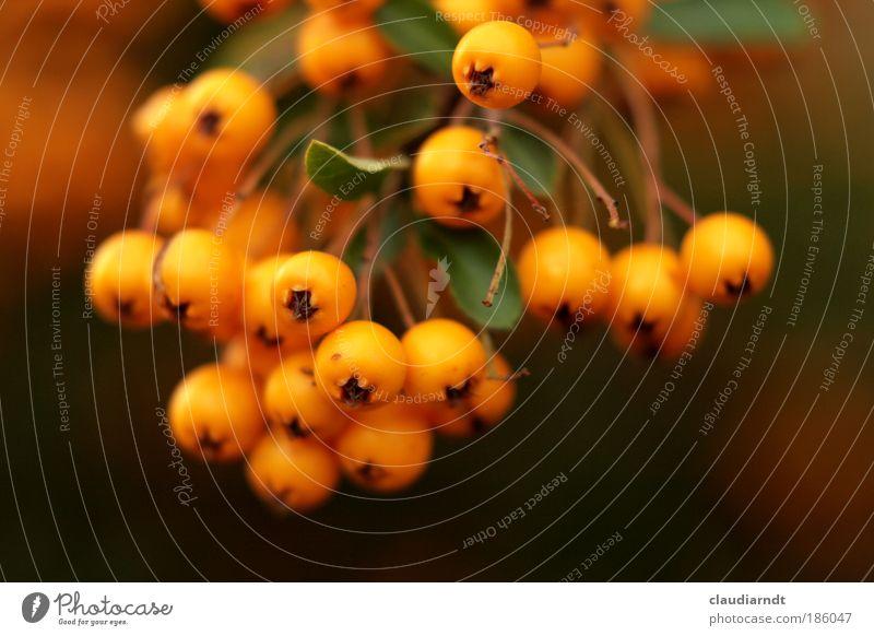 beerig Frucht Vegetarische Ernährung Pflanze Sträucher Blatt Beeren frisch reif orange mehrfarbig Vogelbeeren Vogelbeerbaum Ernte traube Halloween knallig