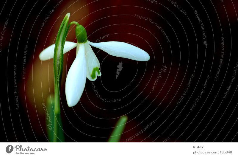 Weihnachts Glöckchen Natur weiß Pflanze Sommer Umwelt Landschaft Wiese Frühling Park Erde Feld Klima Fröhlichkeit ästhetisch Urelemente Kommunizieren