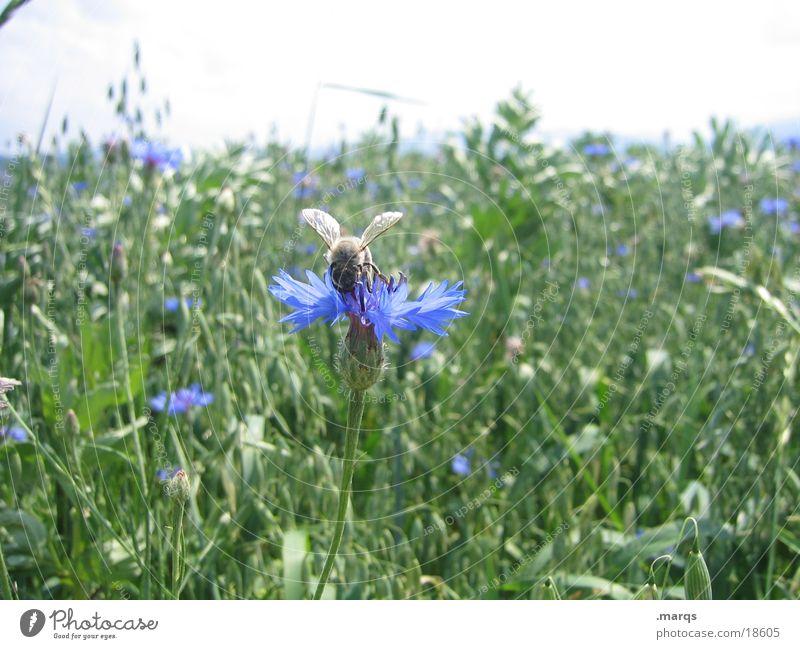 Biene und Blume Natur blau grün Sommer Tier Wiese Feld Verkehr bestäuben aufklären