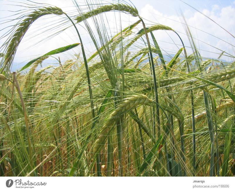 Gerstenfeld Natur Sommer gelb Wiese Feld Wachstum Getreide Blühend Landwirtschaft reif Korn Gerste anbauen
