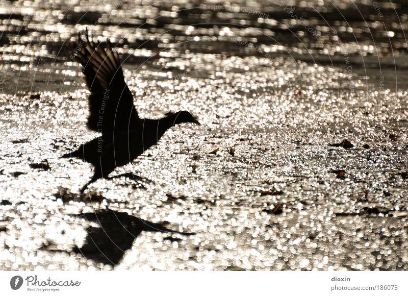 Abflug Wasser Sonnenlicht Park Teich See Bach Fluss Tier Wildtier Vogel Flügel 1 fliegen elegant frei Geschwindigkeit gold schwarz Tatkraft Natur Teichhuhn
