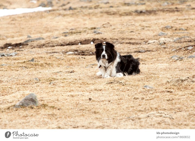 Portrait of an attentive and watchful border collie Hund Ferien & Urlaub & Reisen Tier Haustier Collie