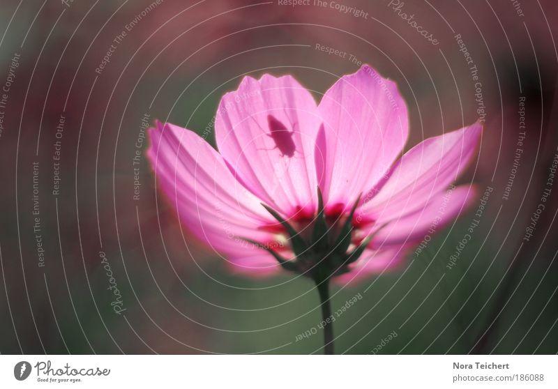 100. Natur schön Blume Pflanze Sommer ruhig Blatt Blüte Bewegung träumen Park Landschaft Stimmung rosa Umwelt verrückt