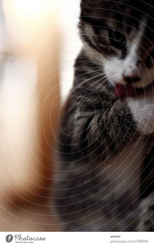 Katzenwäsche weiß schön Tier grau klein Tierjunges sitzen niedlich weich Tierfuß Reinigen Tiergesicht Fell Haustier Pfote