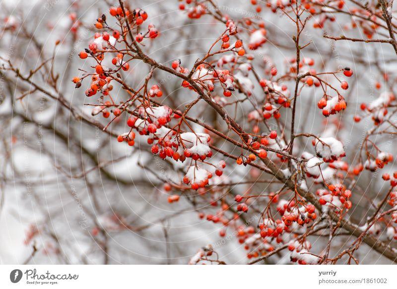 Rowan Zweig im Schnee Frucht Winter Natur Pflanze Baum Wald rot weiß Vogelbeere Aschbeere Hintergrund Ast Frost Beautyfotografie Beeren Zigarettenasche kalt
