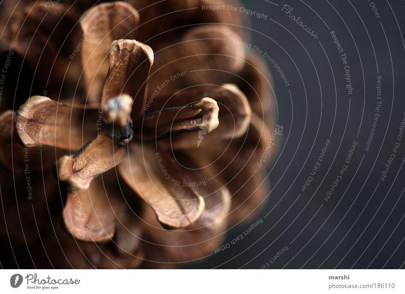 Zapfen...streich Umwelt Natur Herbst Pflanze klein braun Farbfoto Nahaufnahme Detailaufnahme Menschenleer Unschärfe Kiefernzapfen