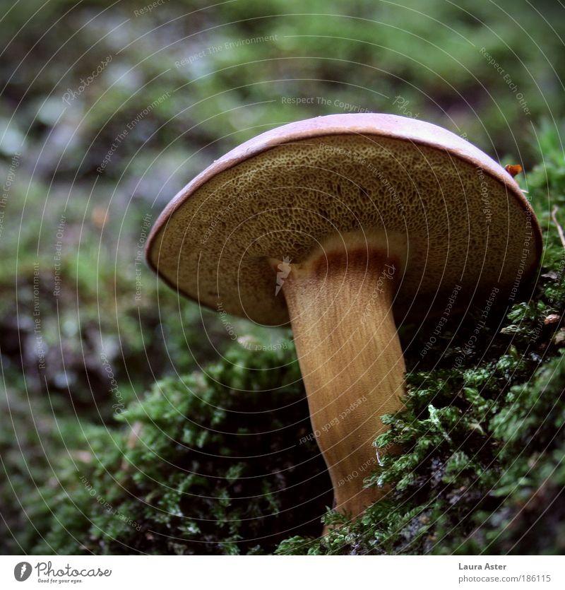 Ein schöner Pilz, ein feiner Pilz... Natur braun Wetter außergewöhnlich Wachstum stark Stengel lecker Moos Lamelle Wildpflanze