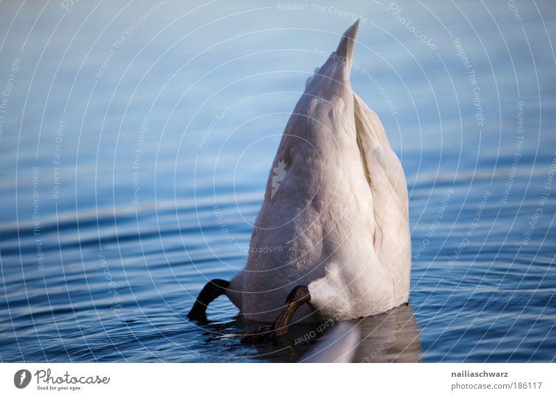 Abgetaucht Natur Wasser blau Tier Herbst grau See Zufriedenheit Umwelt tauchen Wildtier silber Reflexion & Spiegelung Schwan