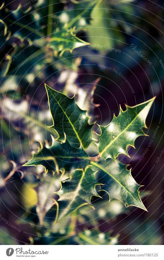 Weihnachtsgrün Natur grün Baum Pflanze Winter Umwelt Park glänzend Dekoration & Verzierung Sträucher Spitze Schönes Wetter Gift Vorfreude stachelig Stachel