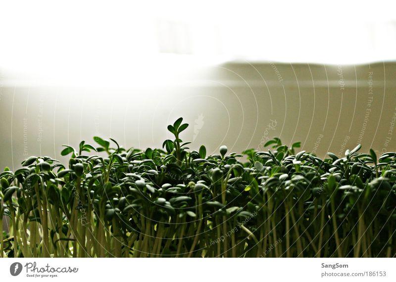 grüne Vitamine Pflanze Gesunde Ernährung Lebensmittel Ernährung genießen Kräuter & Gewürze lecker Bioprodukte Nutzpflanze Lichteinfall Kresse