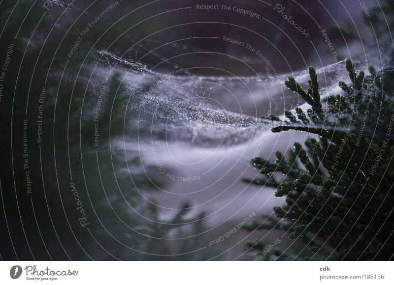 WeihnachtsSpinnerei Umwelt Natur Wassertropfen Herbst Winter schlechtes Wetter Grünpflanze Park Wald Linie Netz Netzwerk Tropfen dunkel authentisch trist grün