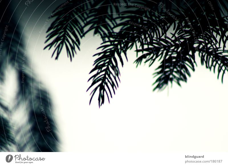 Christmas Eve ... Umwelt Pflanze Klimawandel Wetter Schnee Baum Holz trist grau schwarz weiß Hoffnung Langeweile Tanne Tannenzweig Tannennadel Farbfoto