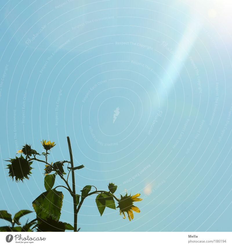 Lichtblick Umwelt Natur Pflanze Wolkenloser Himmel Sonnenlicht Schönes Wetter Blume Blüte Sonnenblume Park Sonnenstrahlen Blühend verblüht hell natürlich