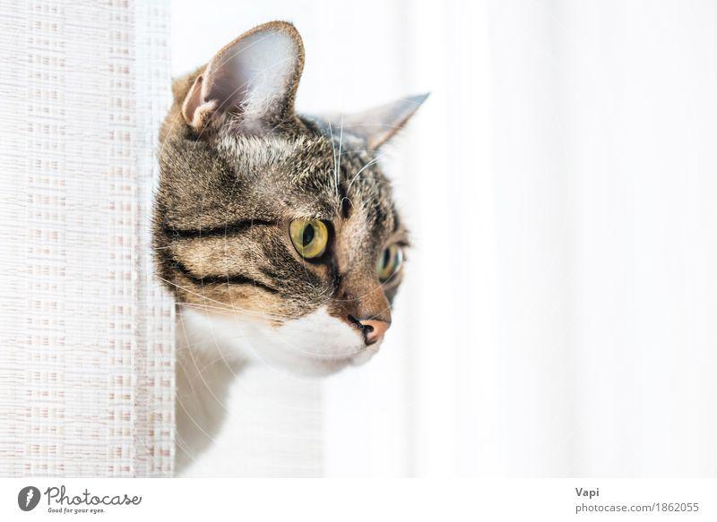 Graue gestreifte und neugierig schauende Katze weiß Tier schwarz gelb lustig klein grau braun sitzen Aussicht niedlich Haustier Tiergesicht reizvoll Säugetier