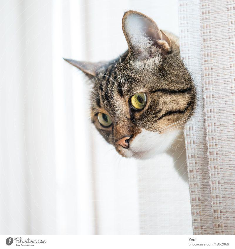 Graue gestreifte und neugierig schauende Katze Tier Fenster Fell Behaarung Haustier Tiergesicht 1 Streifen sitzen klein lustig niedlich braun gelb grau schwarz