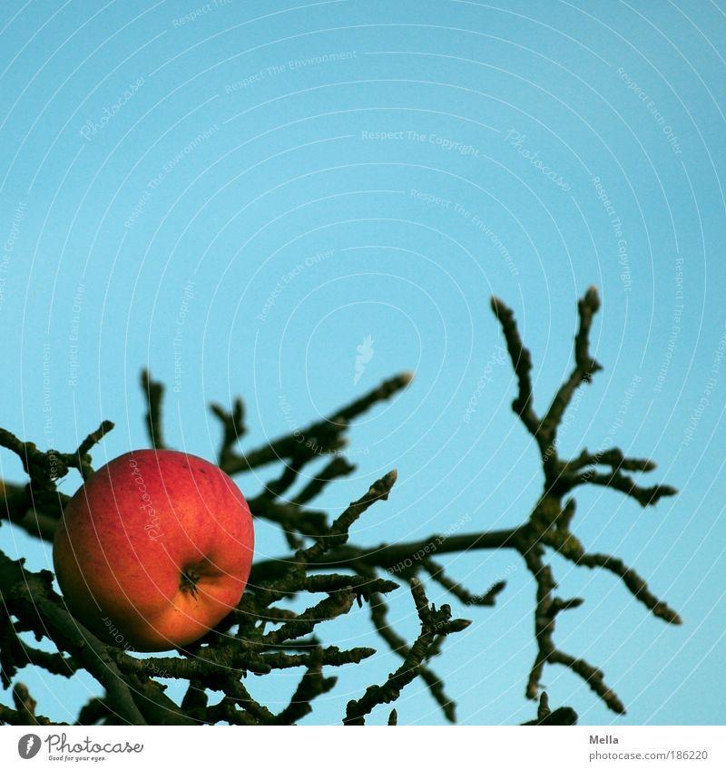 Eve's disease Umwelt Natur Pflanze Wolkenloser Himmel Baum Apfel Apfelbaum Garten Wachstum natürlich blau rot Desaster Verbote Vergänglichkeit