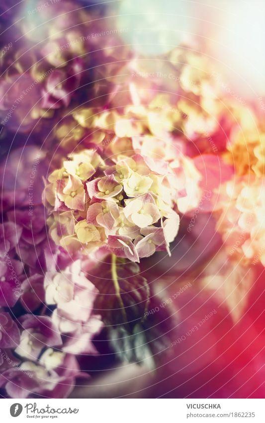 Wunderschöne bunte Hortensie Blüten elegant Design Garten Dekoration & Verzierung Natur Pflanze Frühling Sommer Herbst Blume Blatt Blühend weich gelb rosa Liebe