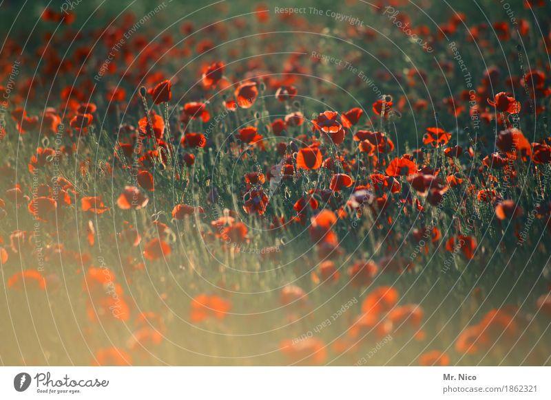 mohn chéri Natur Pflanze Sommer grün Landschaft rot Umwelt Wärme Blüte Park Feld Wachstum Blühend viele Duft sommerlich