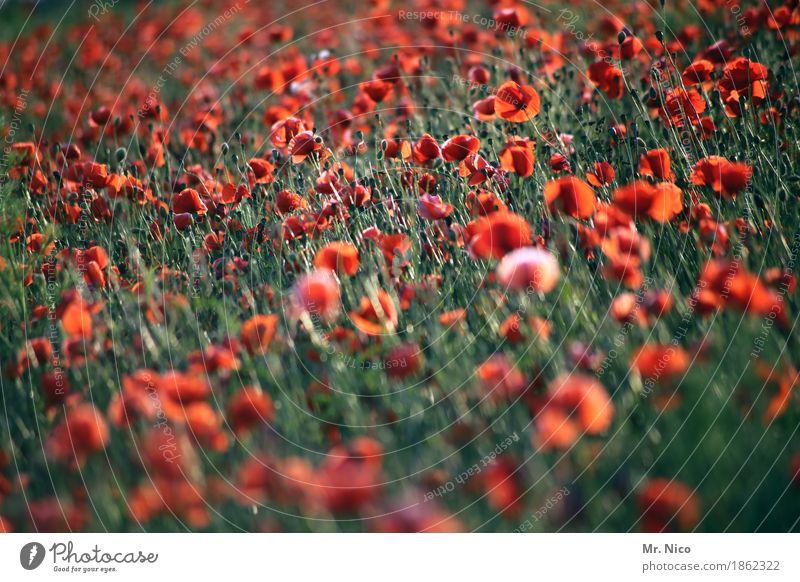 mohn amour Natur Pflanze Landschaft rot Umwelt Wärme Blüte leuchten Feld Wachstum Idylle viele Mohn sommerlich Nutzpflanze Wildpflanze
