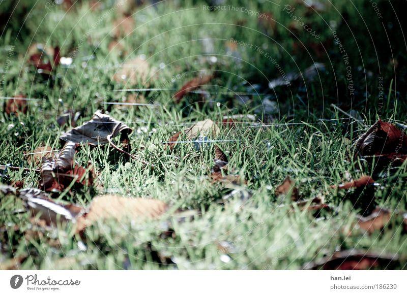 Spinnenweben Umwelt Natur Erde Herbst Winter Eis Frost Blatt Park Wiese trist braun grün Herbstferien kalt Boden Gras Farbfoto Außenaufnahme Detailaufnahme