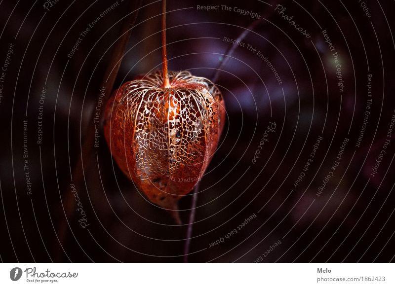 Physalis II Umwelt Natur Pflanze Tier Herbst Winter Blume Blatt Blüte Grünpflanze Nutzpflanze Garten Park elegant glänzend schön Wärme feminin violett orange