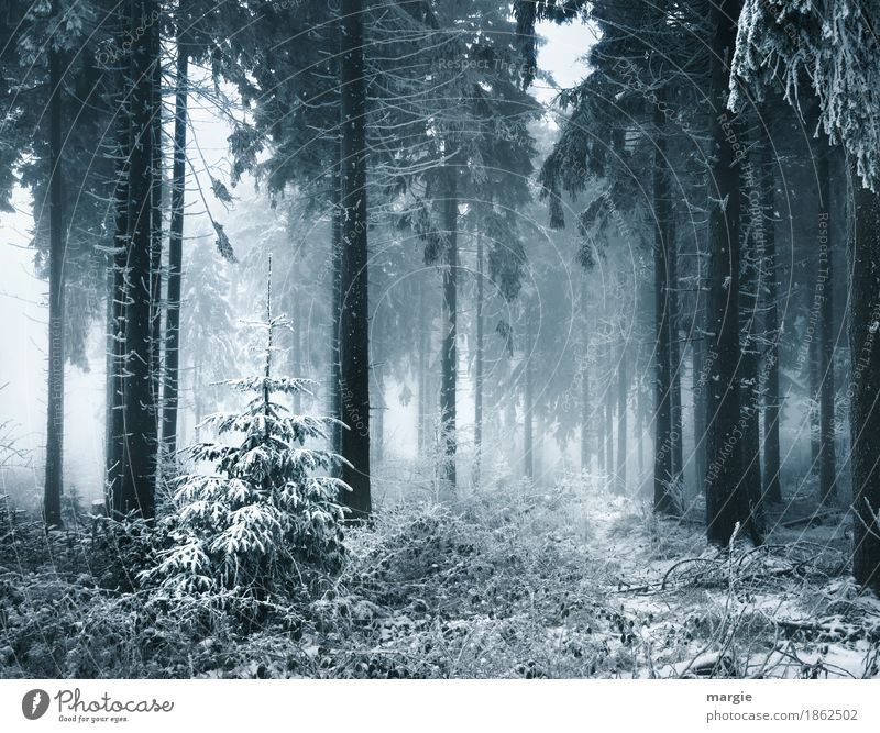 Überlebenskampf Nebel Eis Frost Schnee Schneefall Pflanze Baum Nutzpflanze Wald blau silber Tanne Tannennadel Tannenzweig Nadelwald Fichtenwald Weihnachtsbaum
