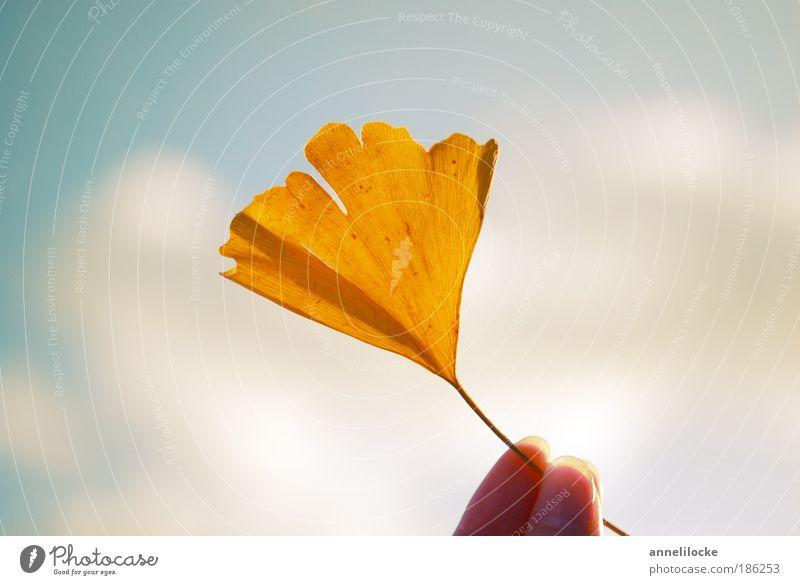 Ginkgo Ernährung Finger Umwelt Natur Pflanze Himmel Sonne Herbst Baum Blatt Nutzpflanze Wildpflanze exotisch Park ästhetisch hell gelb Glück Optimismus Hoffnung
