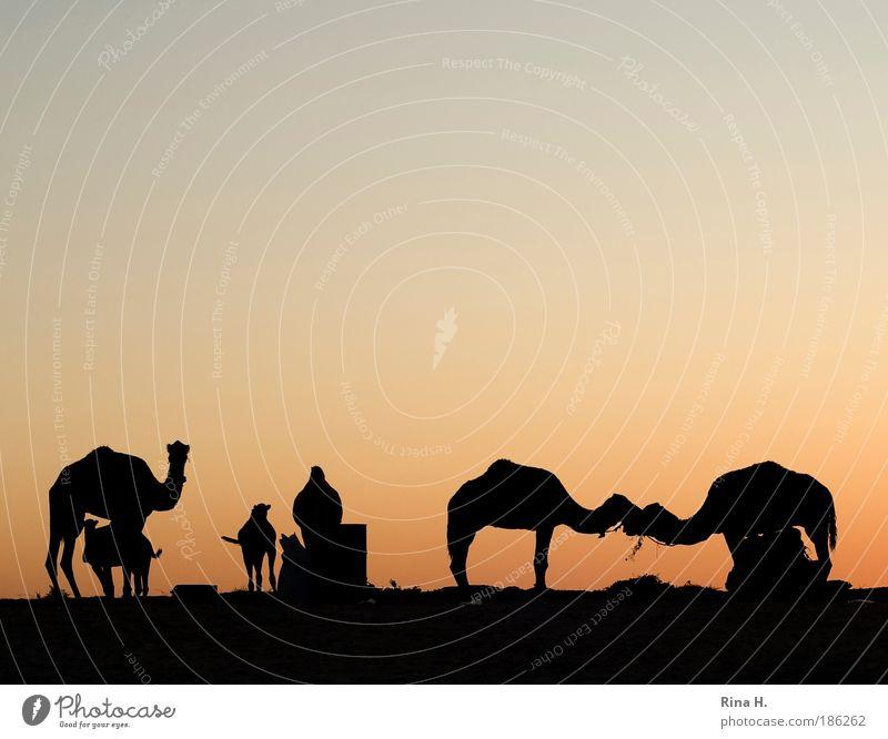 Wüstenliebe Ferien & Urlaub & Reisen Tourismus Ausflug Abenteuer Safari Expedition Sonnenaufgang Sonnenuntergang Oase kamel Dromedar Tiergruppe Küssen