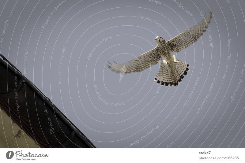 entglitten Tier Wildtier Vogel Falken 1 Freiheit Leichtigkeit Natur Präzision Umwelt gleiten Schweben fliegen Wärme Greifvogel Schwerelosigkeit Menschenleer